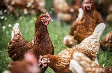 Sprawdzony drób - jakie źródła mięsa drobiowego wybierać?
